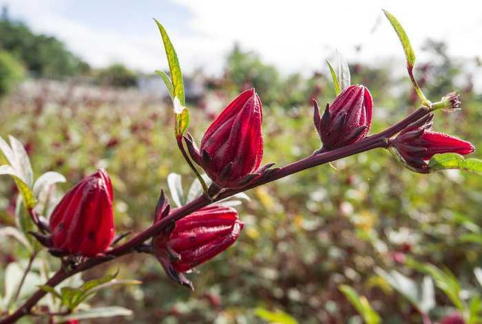 roselle plant